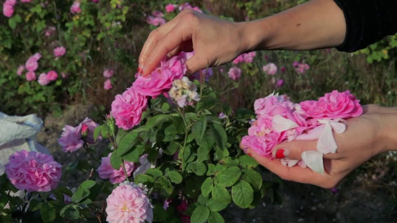 'Сбор розы